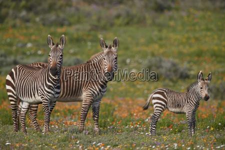 cape mountain zebra equus zebra zebra