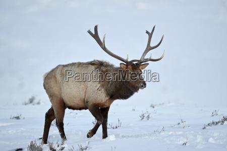 elk cervus canadensis bull in the